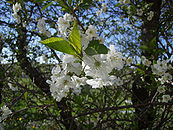 Cherry tree flower 2.JPG