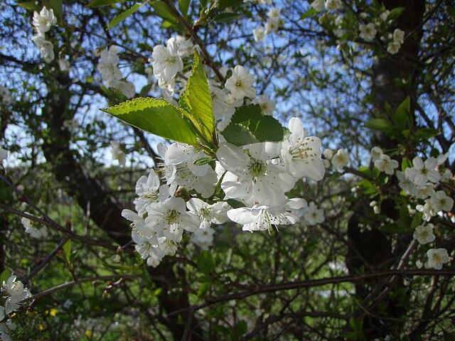 Cherry blommor dating online sena natt hookup barer Chicago