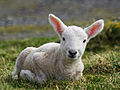 Cheviot lamb on the Isle of Lewis.jpg