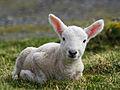 Cheviot lamb on the Isle of Lewis.jpg