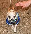 Chihuahua spodek 2 pl.jpg