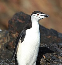 Chinstrap Penguin at Cooper Bay, South Georgia