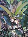 Chionanthus mala-elengi flowers.jpg