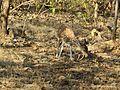 Chital doe eating chital antler, Gir AJTJ IMG 4488.jpg