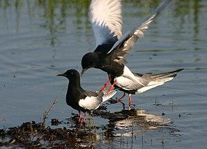 White-winged Tern (Chlidonias leucopterus) on ...