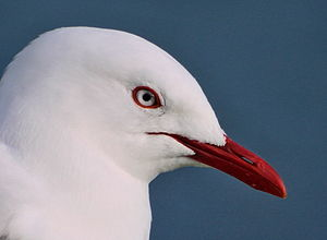 Red-billed gull - Upper body