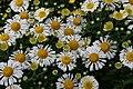 Chrysanthemum Corrine 2zz.jpg