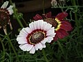 Chrysanthemum from Lalbagh flower show Aug 2013 8344.JPG
