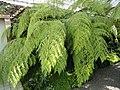 Cibotium cumingii - Botanischer Garten München-Nymphenburg - DSC08036.JPG