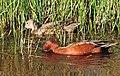 Cinnamon Teal on Seedskadee National Wildlife Refuge (26748856651).jpg
