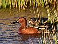 Cinnamon teal at Seedskadee National Wildlife Refuge (41981782212).jpg