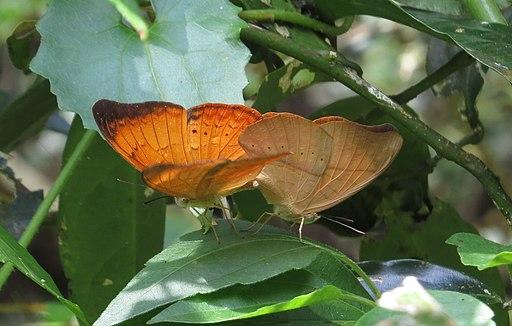 Cirrochroa thais - Tamil Yeoman mating pair during Periyar butterfly survey at Sabarimala, 2014 (2)