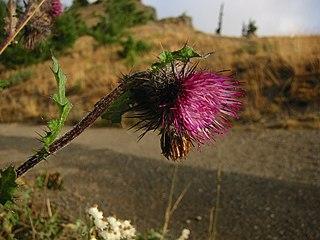 <i>Cirsium edule</i> species of plant