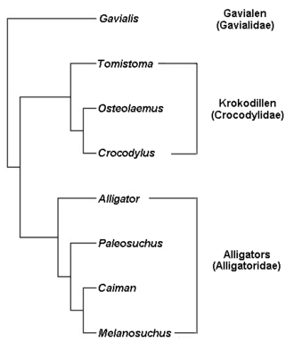 Clade - Gavialidae, Crocodylidae and Alligatoridae are clade names that are here applied to a phylogenetic tree of crocodylians.