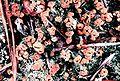 Cladonia peziziformis-11.jpg