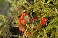 Cladonia sp. (27436634319).jpg