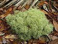Cladonia subtenuis - Flickr - pellaea (8).jpg