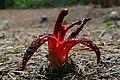 Clathrus archeri ( octopus stinkhorn) (27075290618).jpg