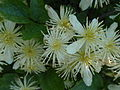 Clematis ligusticifolia (1).jpg