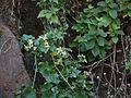 Clematis orientalis subsp. wightiana (6726098881).jpg
