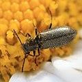 Cleroidea, Dasytes sp. auf Margeritenstämmchen 8571.jpg
