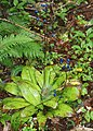 Clintonia udensis (fruits s5).jpg