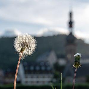 Moselle bank, Cochem, Rhineland-Palatinate, Germany