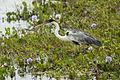 Cocoi Heron - Pantanal - Brazil MG 8551 (15226261388).jpg