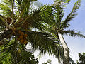 Coconut tree at Radisson (2897725008).jpg