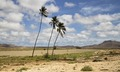 Coconut trees in Boa Vista, Cape Verde, December 2010 - 2.tif