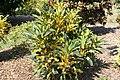 Codiaeum variegatum Nortii 3zz.jpg