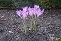 Colchicum sp. (SG) (22116900772).jpg