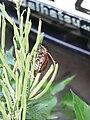 Coleoptera 1280201.JPG
