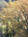 Collserola prop de Sant Cugat DSCN0196.jpg