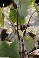Colocasia esculenta Fontenesii 2zz.jpg