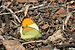 Sulphur Orange Tip - Photo (c) Svdmolen, some rights reserved (CC BY)