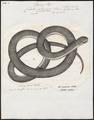 Coluber atrovirens - 1700-1880 - Print - Iconographia Zoologica - Special Collections University of Amsterdam - UBA01 IZ12100171.tif
