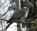 Columba palumbus -perching on branch-8.jpg