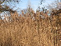 Common-reed-winter-0a.jpg