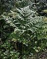 Common Bracken (Pteridium aquilinum) - Oslo, Norway (02).jpg