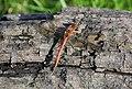 Common Darter (Sympetrum. striolatum) - geograph.org.uk - 587199.jpg