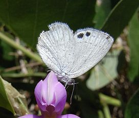 Common Dusky Blue.JPG