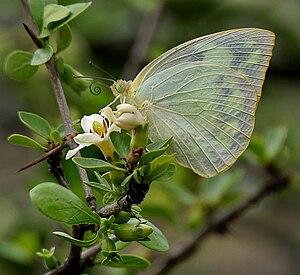 Catopsilia pomona - Female