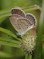Common Grass Blue (Zizina otis) (6246881988).jpg
