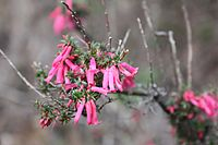 pink-flowered shrub