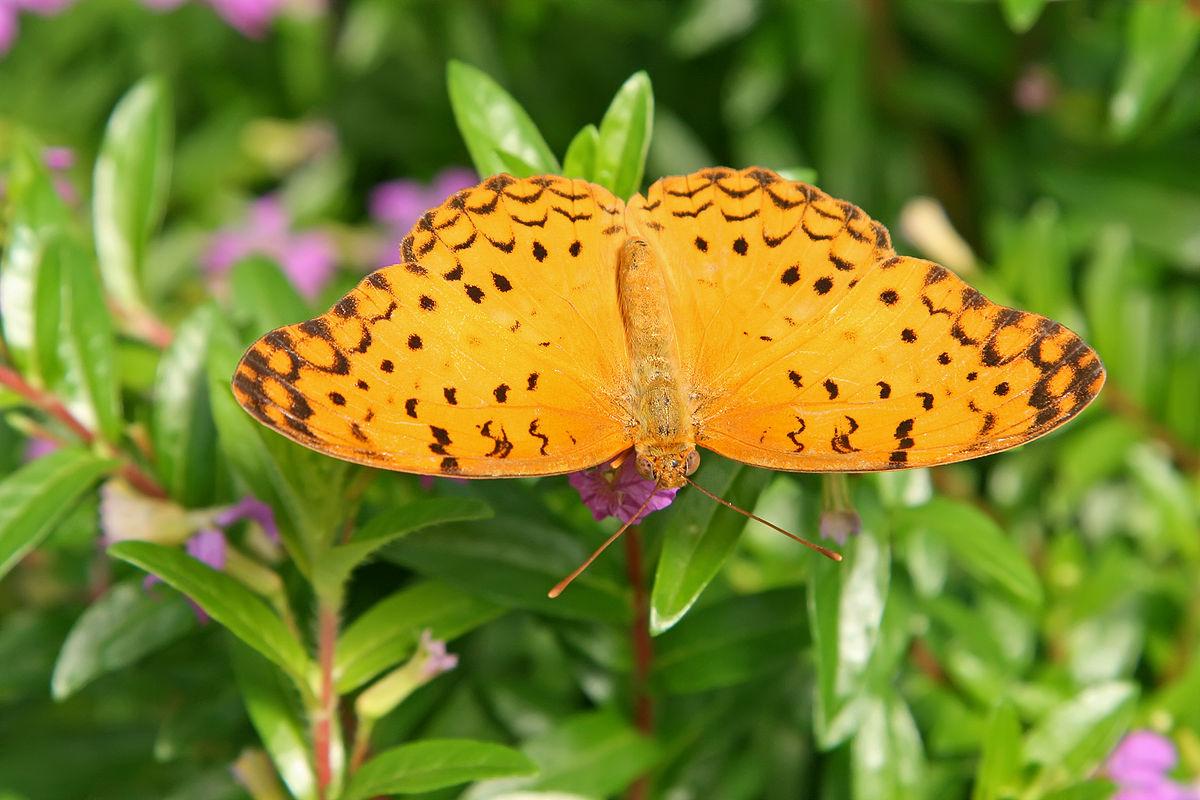 Phalanta phalantha - Wikipedia
