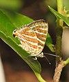 Common Silverline Spindasis vulcanus UN by Dr. Raju Kasambe DSCN0487 (4).jpg