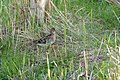 Common Snipe (Gallinago gallinago) (Photo Jean NICOLAS) (25423894283).jpg