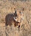 Common Warthog (Phacochoerus africanus) male (33070778025).jpg
