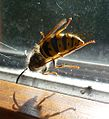 Common Wasp^ Vespula vulgaris - Flickr - gailhampshire.jpg